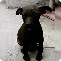 Boxer/Labrador Retriever Mix Puppy for adoption in Dana Point, California - Wendy