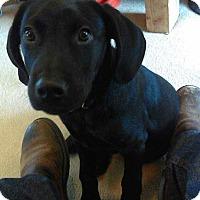 Adopt A Pet :: Ace - Las Vegas, NV