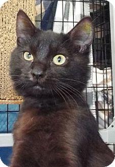Domestic Mediumhair Kitten for adoption in Grants Pass, Oregon - Jaymes