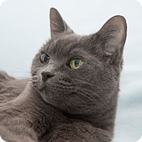 Domestic Shorthair Cat for adoption in Vancouver, British Columbia - Tia