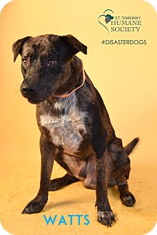 Catahoula Leopard Dog Mix Dog for adoption in Covington, Louisiana - Watts