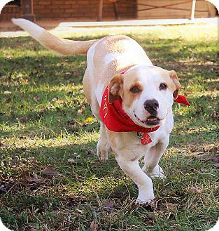 Basset Hound/Bulldog Mix Dog for adoption in Jesup, Georgia - Jesse