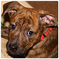 Adopt A Pet :: Harley - Holly Springs, NC