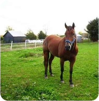 Quarterhorse Mix for adoption in Old Fort, North Carolina - Cowboys Wonder Otoe