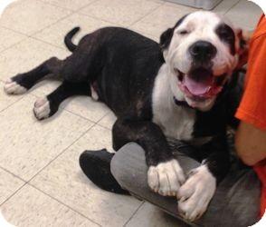 Mastiff/Great Dane Mix Puppy for adoption in DOVER, Ohio - Rocky