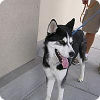 Adopt A Pet :: Tako - Las Vegas, NV