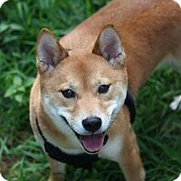 Adopt A Pet :: Kiba - Manassas, VA