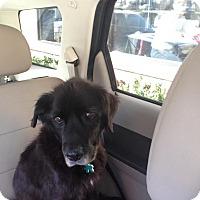 Adopt A Pet :: Felicia - Alpharetta, GA