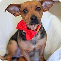 Adopt A Pet :: Trix - Dalton, GA