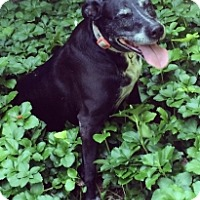 Adopt A Pet :: PEPPER ANN - Albany, NY