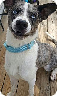 Catahoula Leopard Dog/Australian Cattle Dog Mix Dog for adoption in Hope Mills, North Carolina - Dakota 2