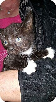 Domestic Shorthair Kitten for adoption in Albemarle, North Carolina - Warren Harding