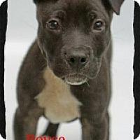 Adopt A Pet :: Royce - Old Saybrook, CT