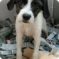 Adopt A Pet :: Jigglypuff - Miami, FL