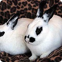 Adopt A Pet :: Peace - Tustin, CA