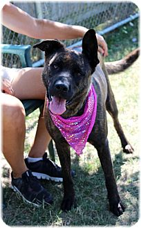 Dutch Shepherd Mix Dog for adoption in Welland, Ontario - Willow
