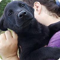 Adopt A Pet :: YODA-adoption pending - East Windsor, CT