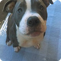 American Pit Bull Terrier Mix Puppy for adoption in Des Moines, Iowa - Little George