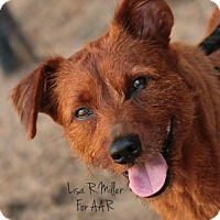 Adopt A Pet :: Koda Red - Freeport, FL