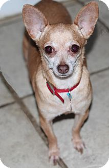 Chihuahua Mix Dog for adoption in Morganville, New Jersey - Tinkerbell