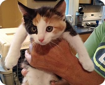 Domestic Shorthair Kitten for adoption in Trenton, New Jersey - Lala