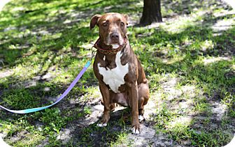 American Pit Bull Terrier/Labrador Retriever Mix Dog for adoption in Jupiter, Florida - Chloe
