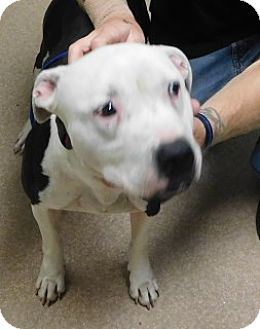 American Pit Bull Terrier Mix Dog for adoption in Saginaw, Michigan - Otto