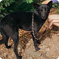 Labrador Retriever/Jindo Mix Dog for adoption in Denver, Colorado - Zlatan