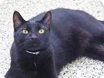 Domestic Shorthair Cat for adoption in Hawthorne, California - Shadow