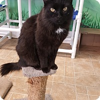 Domestic Longhair Cat for adoption in Cody, Wyoming - Macaroni