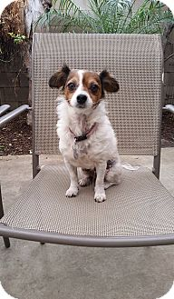 Papillon/Jack Russell Terrier Mix Dog for adoption in Fountain Valley, California - Lady
