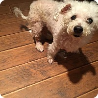 Bichon Frise/Poodle (Miniature) Mix Dog for adoption in Pataskala, Ohio - Shotsie