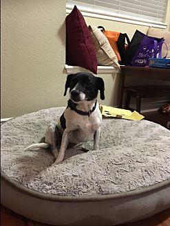 Chihuahua Mix Dog for adoption in Monrovia, California - Sugar