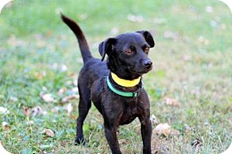 Jack Russell Terrier/Chihuahua Mix Dog for adoption in Hagerstown, Maryland - PETER PAN-FOSTER NEEDED