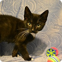 Adopt A Pet :: Tin Tin - Oyster Bay, NY