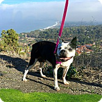 Adopt A Pet :: Holly - Redondo Beach, CA