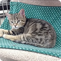 Domestic Shorthair Kitten for adoption in Warren, Ohio - Simba