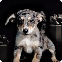 Adopt A Pet :: Nico - McKinney, TX