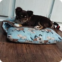 Adopt A Pet :: COCO ANGEL - Anderson, SC