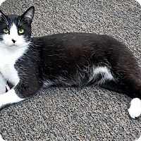 Domestic Mediumhair Cat for adoption in Sumter, South Carolina - OREO