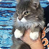 Adopt A Pet :: Shamoo - Hibbing, MN