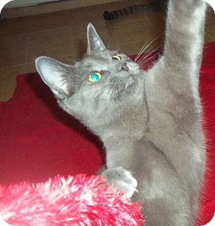 Russian Blue Cat for adoption in Little Neck, New York - MCDREAMY