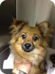 Pomeranian Dog for adoption in Las Vegas, Nevada - Peanut