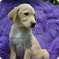 Adopt A Pet :: Harper - New Boston, NH