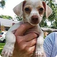 Adopt A Pet :: jerry - Sugar Land, TX