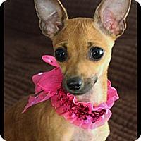 Adopt A Pet :: Bella - Rockwall, TX