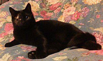 Domestic Mediumhair Kitten for adoption in Salisbury, North Carolina - Jack