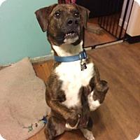 Adopt A Pet :: Shamus - Eastpointe, MI