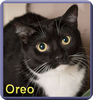 Domestic Shorthair Cat for adoption in Aldie, Virginia - Oreo