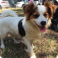 Adopt A Pet :: Nellie - Kosovo Dog - Encino, CA